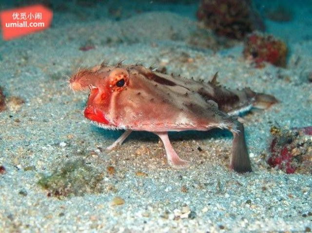不太会游泳的鱼 红唇蝙蝠鱼